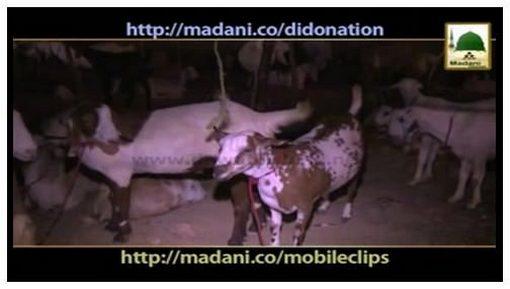 Qurbani Madani Phool - Bakray Ko Chocolate Khela Saktay Hain Ya Nahi?